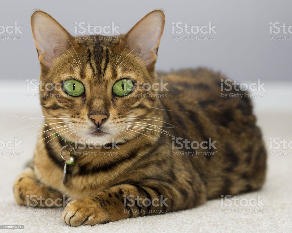 Bengal cat with intense green eyes royalty-free stock photo