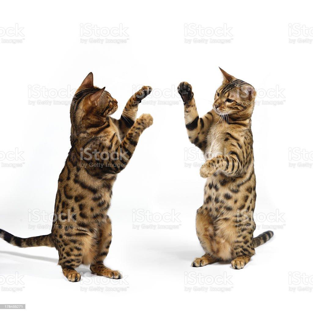 Bengal Cats fighting stock photo