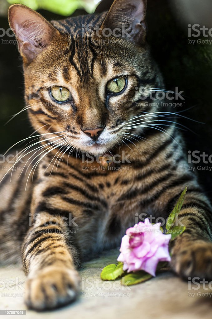Bengal Cats with Rose stock photo