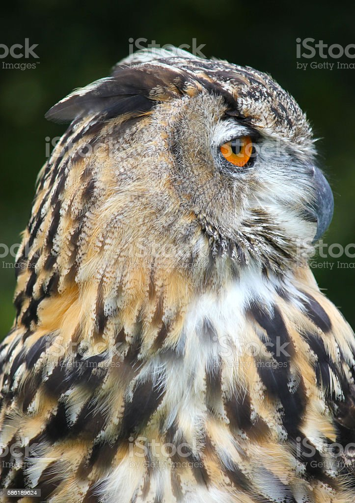Bengal Eagle Owl (Male) Bird Of Prey . stock photo