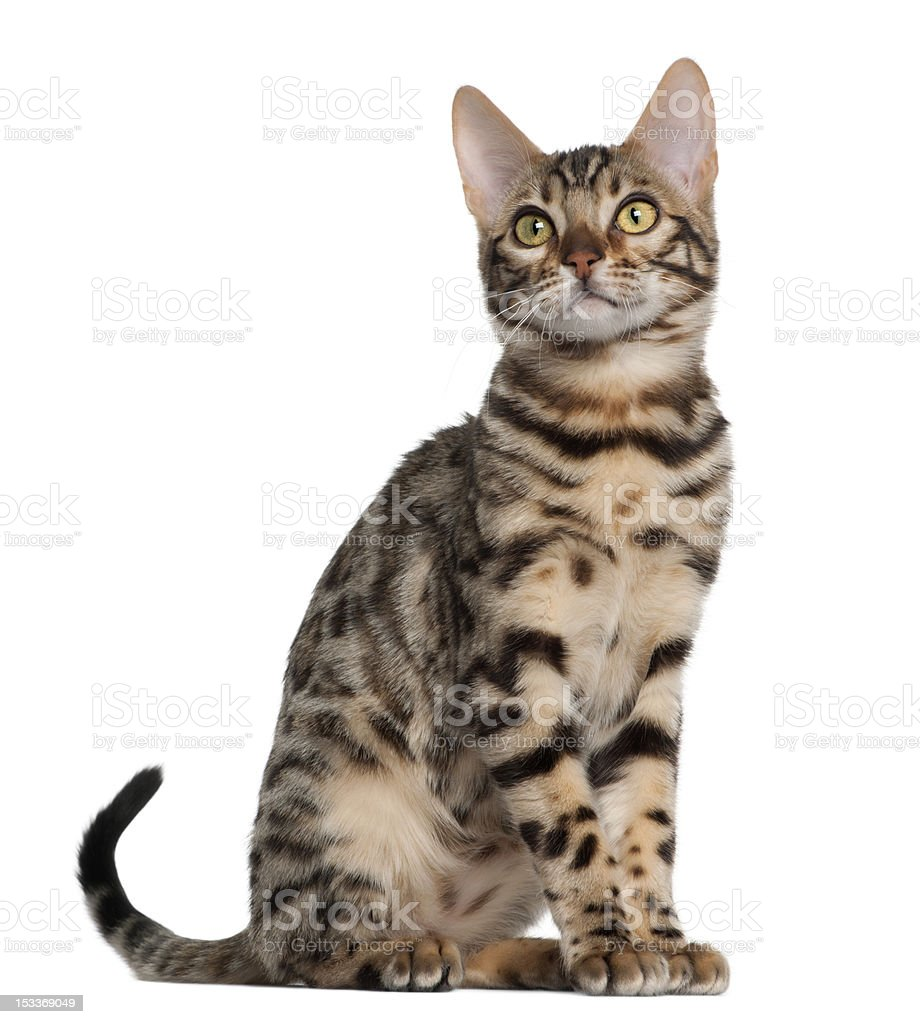 Bengal kitten, 4 months old, sitting stock photo