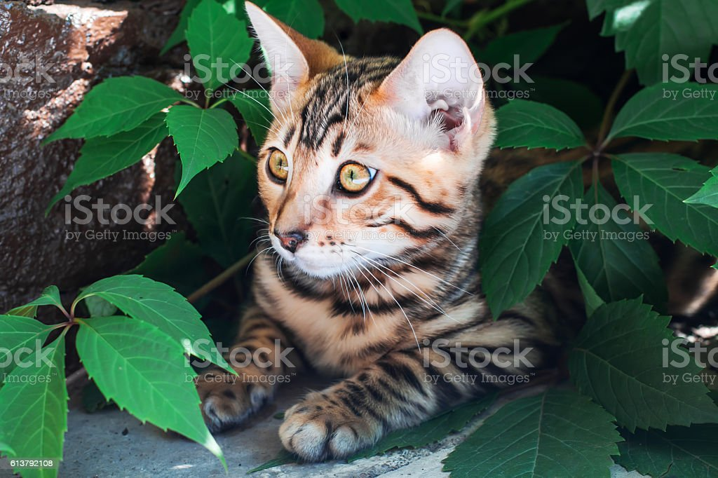 Bengal kitten alone outdoors peeking out from green leaves stock photo