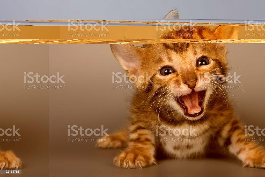 Bengal kitten on grey background stock photo