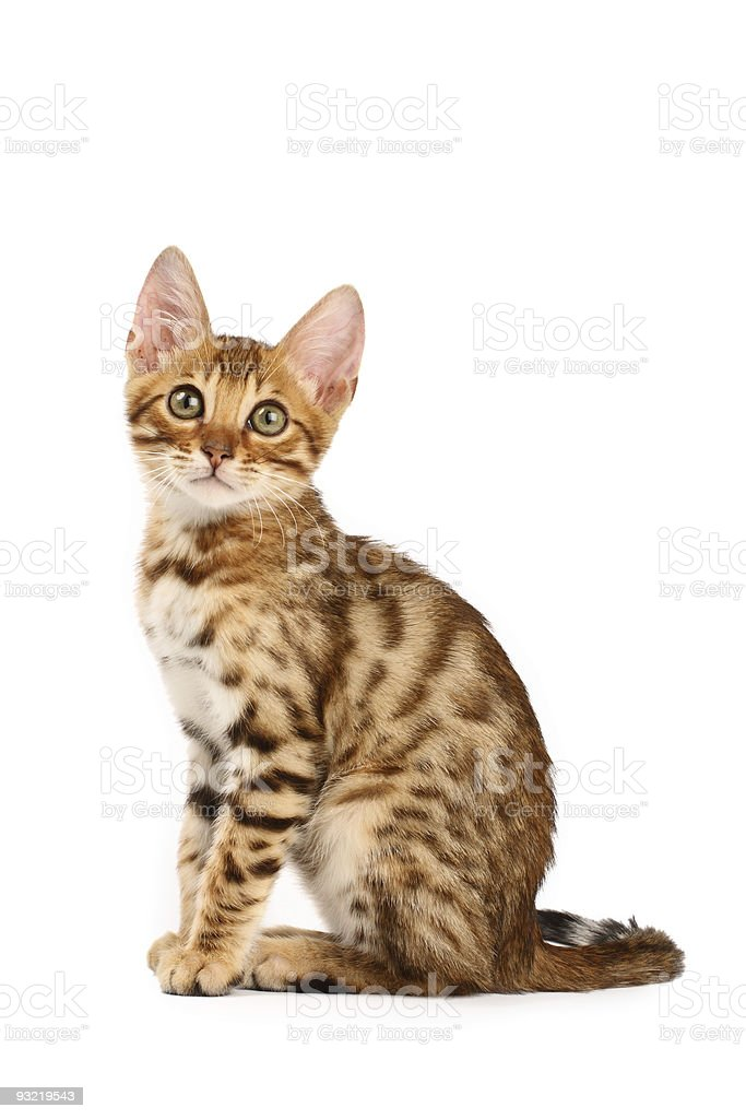 Bengal kitten stock photo