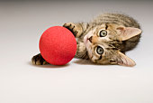 Bengal Kitten with Red Ball