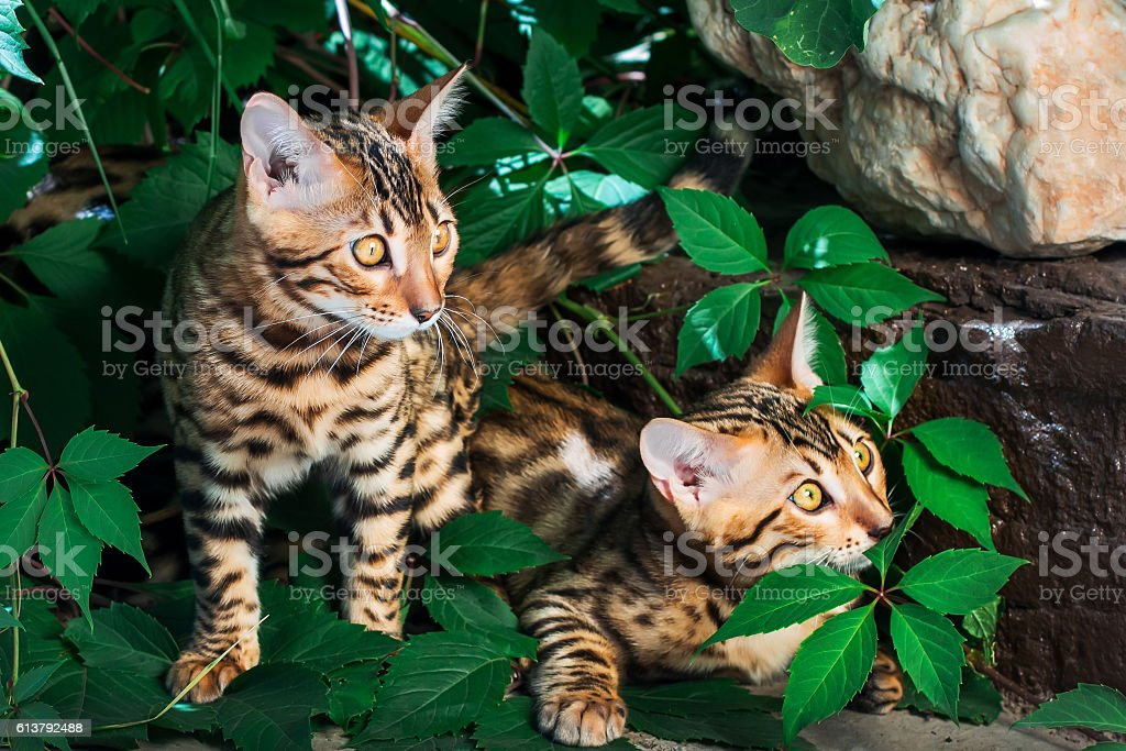 Bengal kittens alone outdoors peeking out from green leaves stock photo