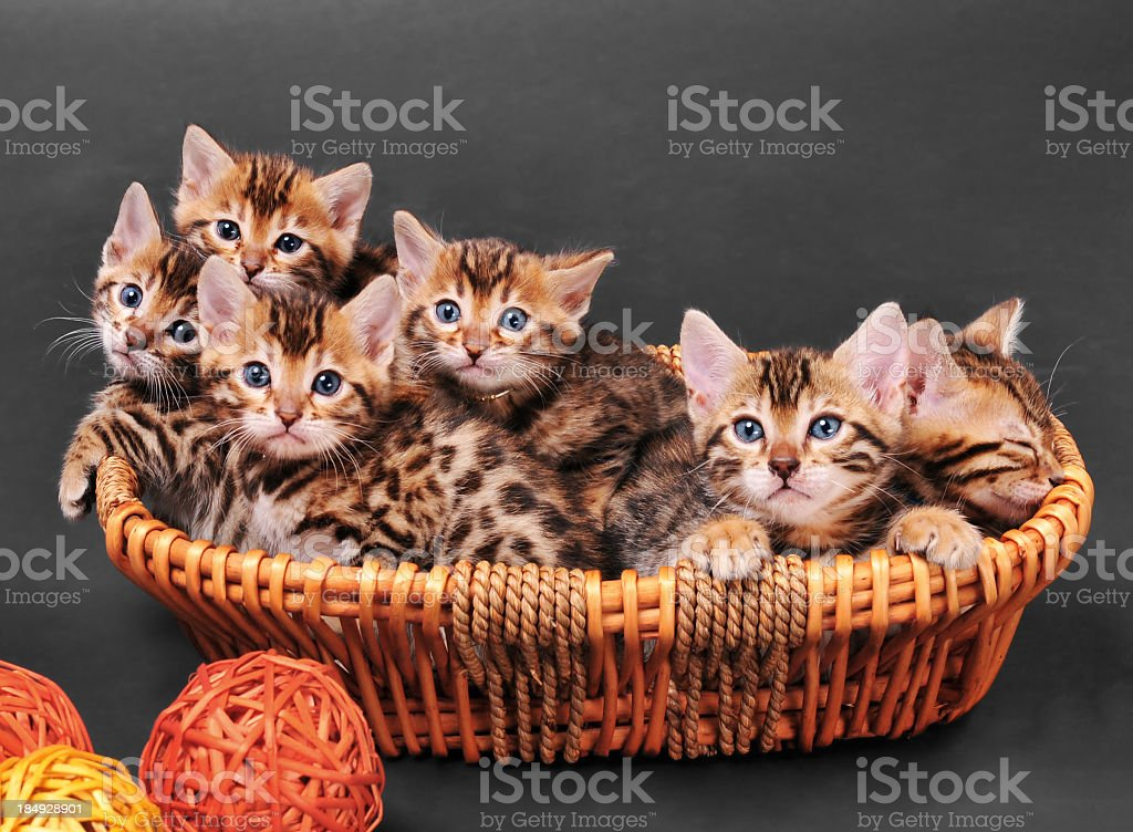 Bengal kittens in a basket royalty-free stock photo