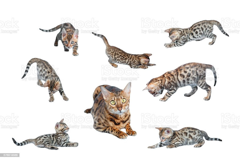 Bengal Kittens playing isolated on white background stock photo