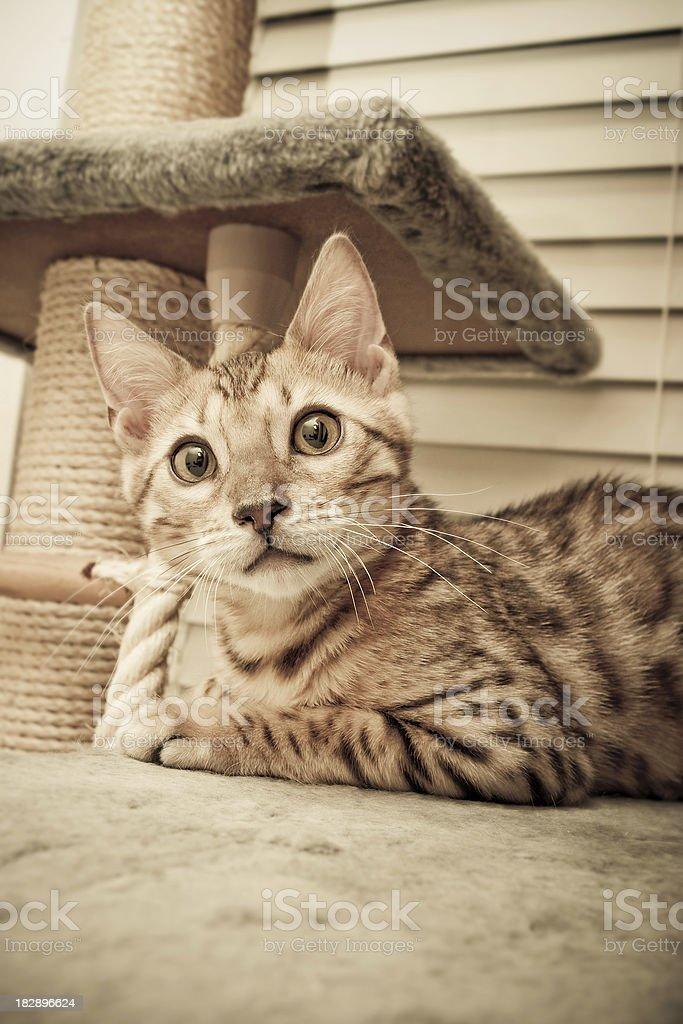 Bengal Tiger Cat royalty-free stock photo