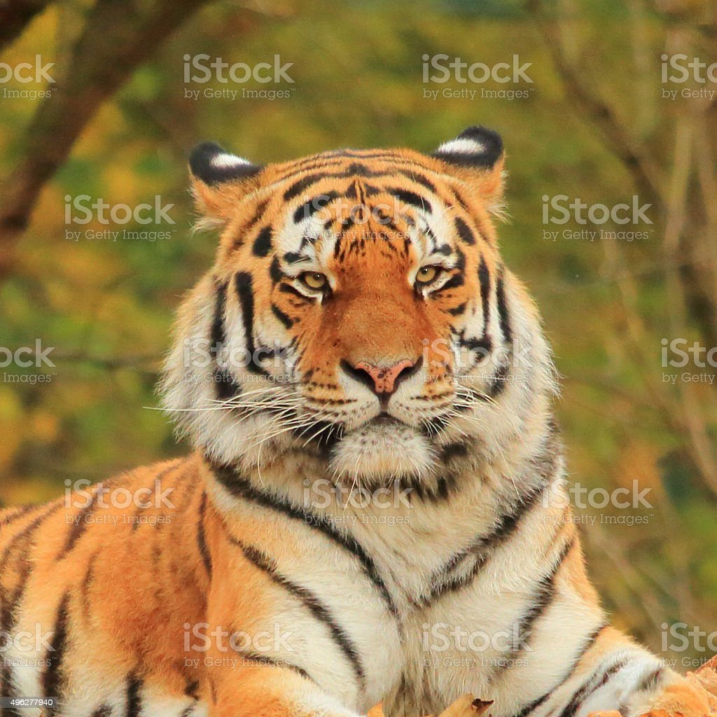 Bengal Tiger Close-up stock photo
