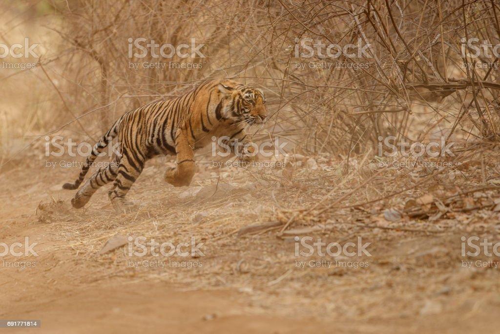 Bengal tiger cub running for fresh kill stock photo