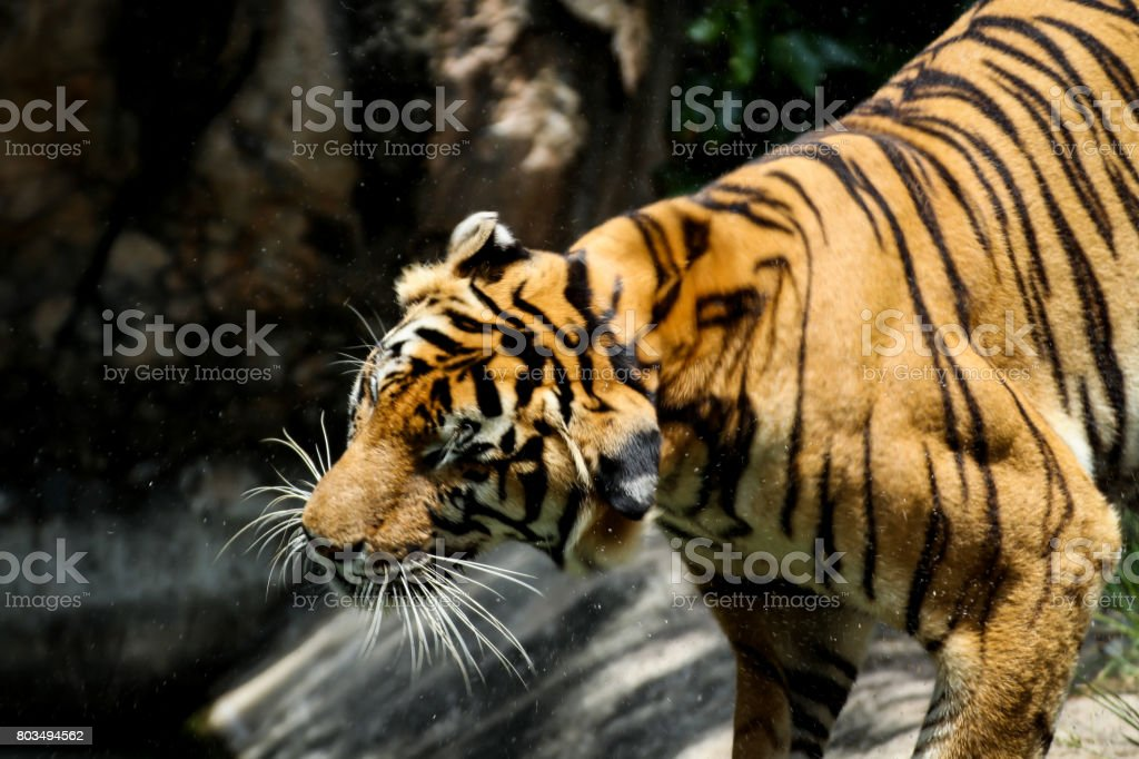 Bengal tiger Flicking Water off its Body stock photo