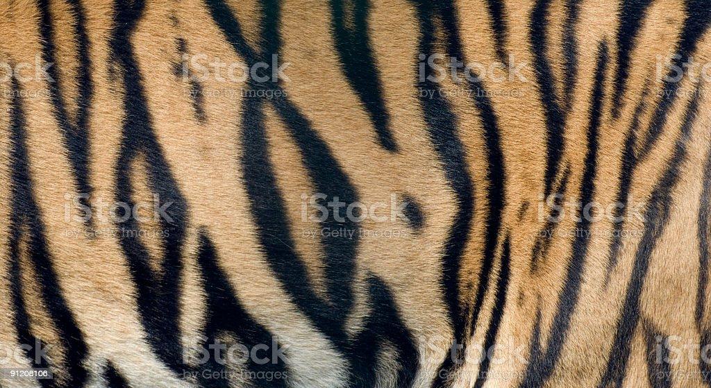 Bengal Tiger fur close up stock photo