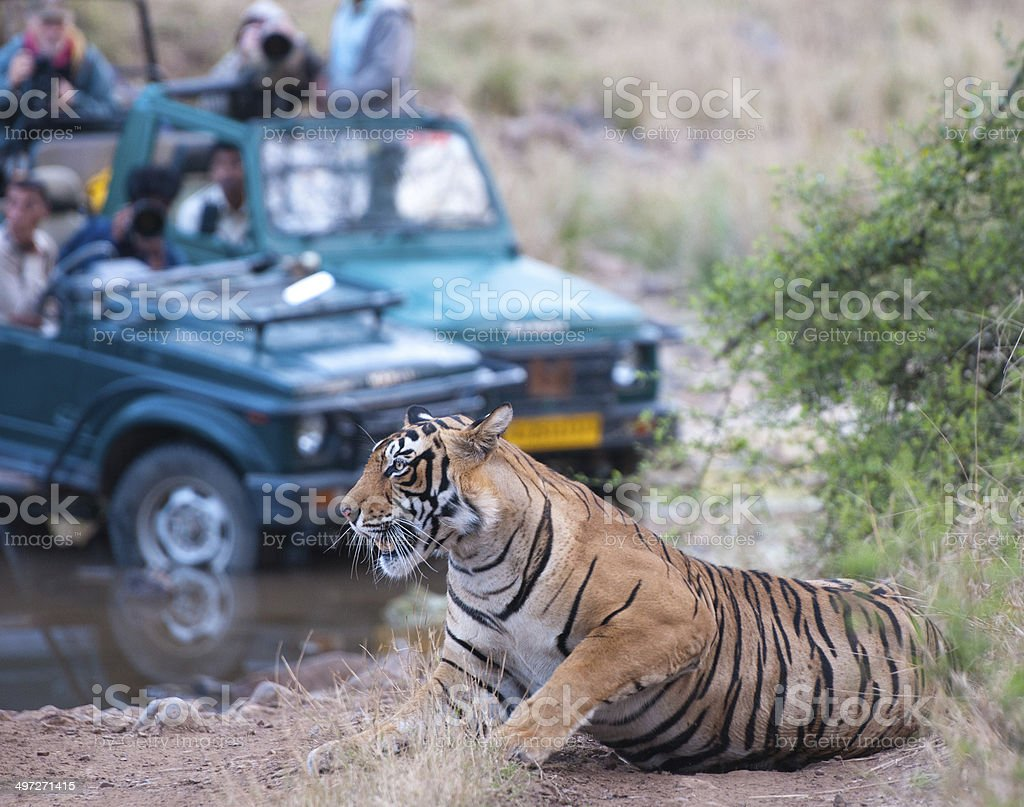 Bengal tiger getting photographed by people in a jeep stock photo