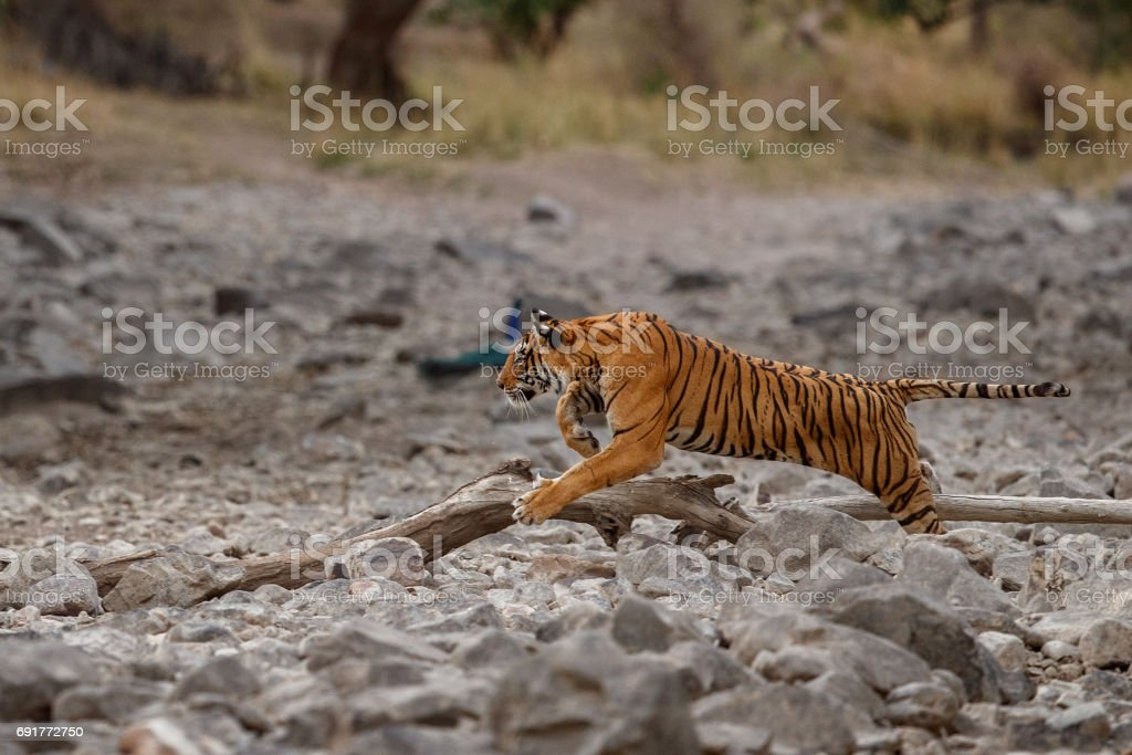 Bengal tiger hunting sambar deer stock photo