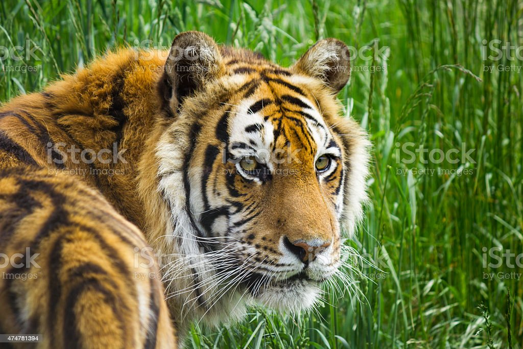 Bengal Tiger in a grass stock photo