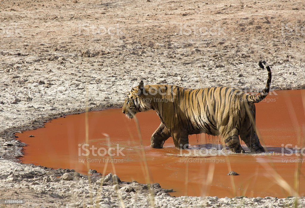 Bengal Tiger in Bandhavgarh NP, India royalty-free stock photo