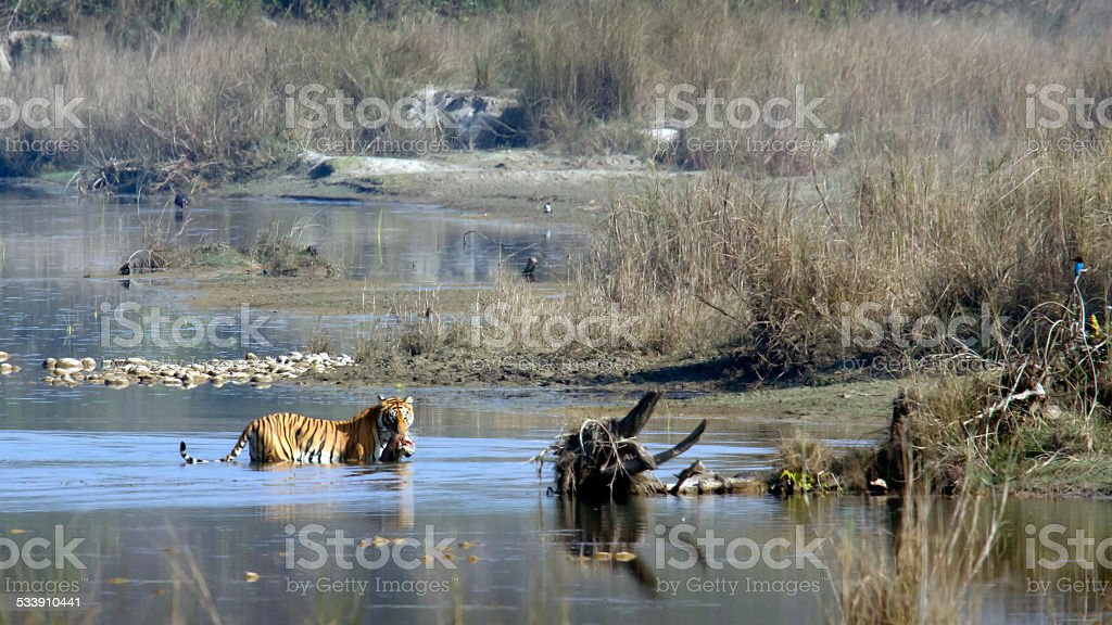 Bengal tiger in Bardia national park , Nepal stock photo
