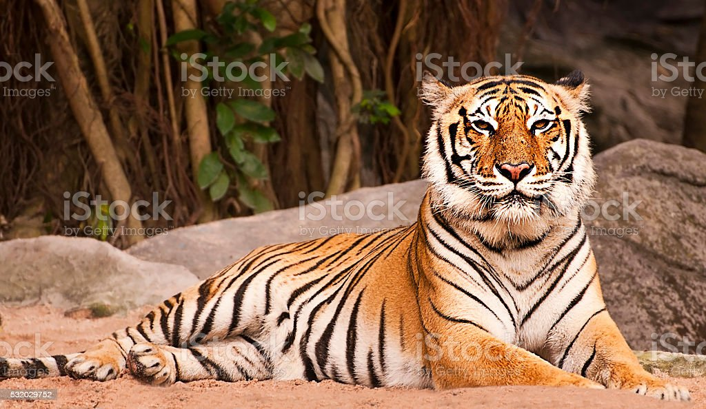 Bengal Tiger in forest show head and leg stock photo
