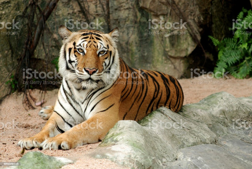 Bengal Tiger in forest show head and leg. stock photo