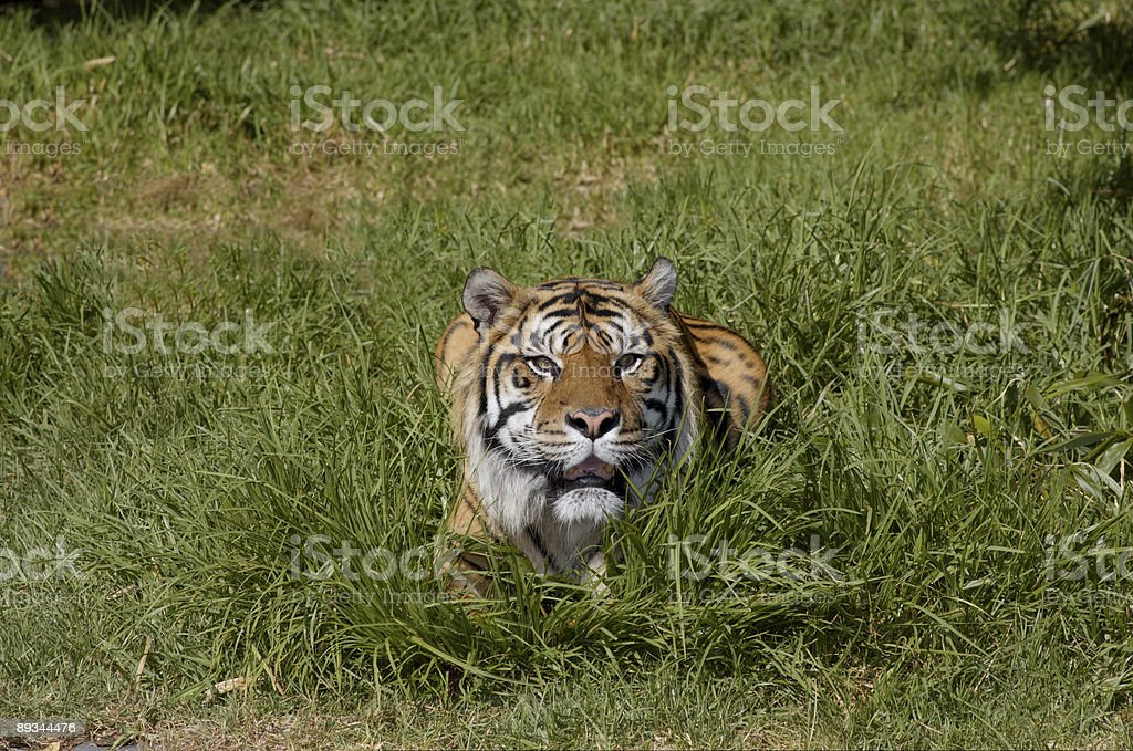 Bengal tiger in the grass 2 royalty-free stock photo
