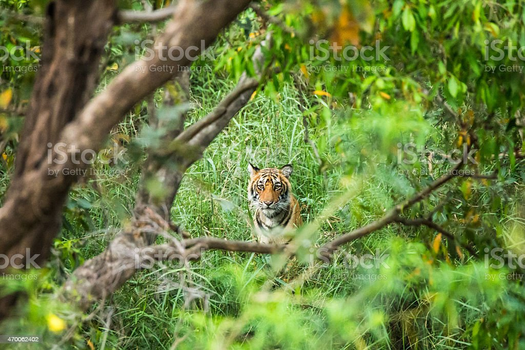 Bengal Tiger in the jungle stock photo
