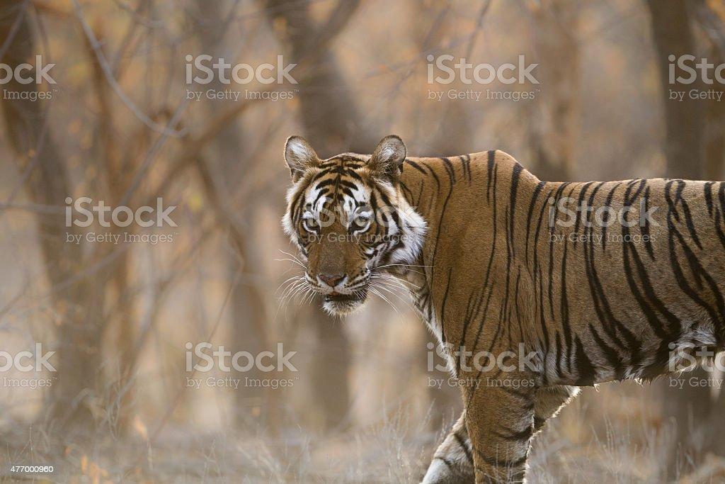 Bengal Tiger, India. stock photo