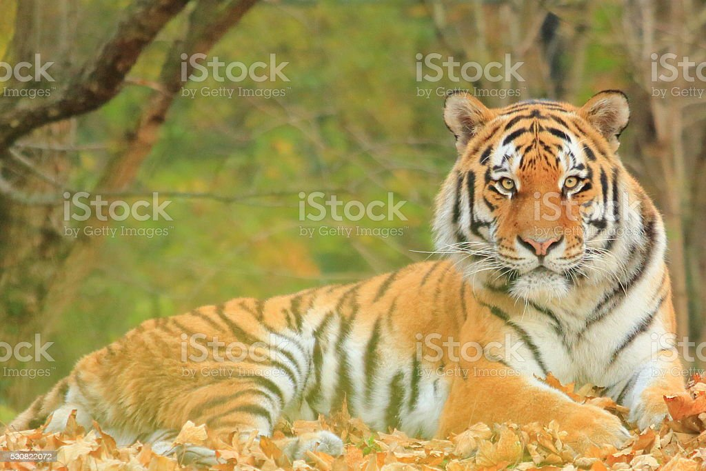 Bengal Tiger Looking stock photo