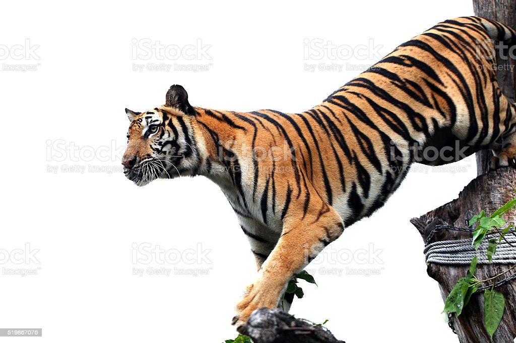 Bengal Tiger on white background stock photo