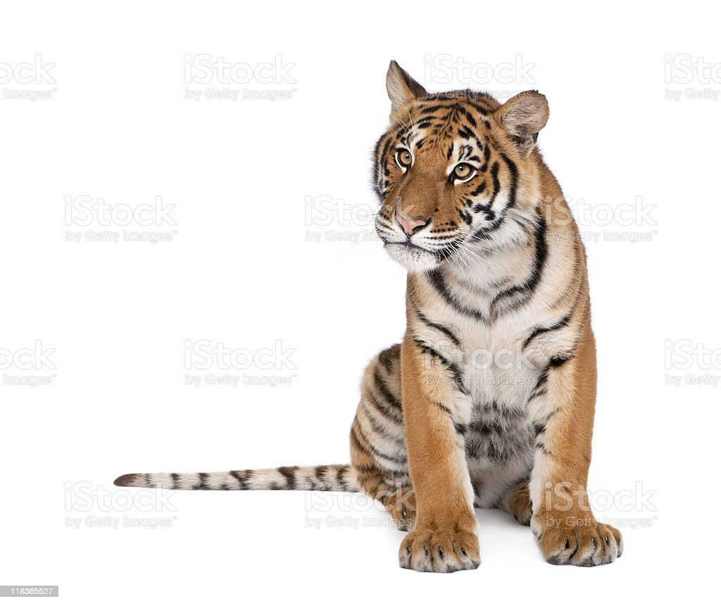 Bengal Tiger, Panthera tigris, 1 year old, sitting stock photo