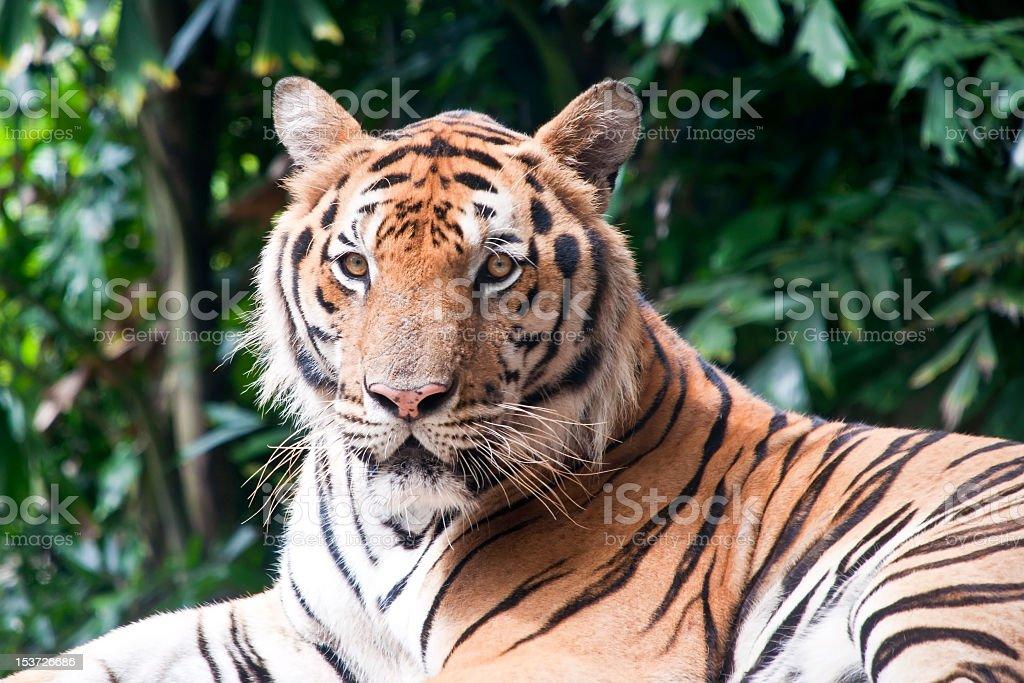 Tygrys bengalski zbiór zdjęć royalty-free