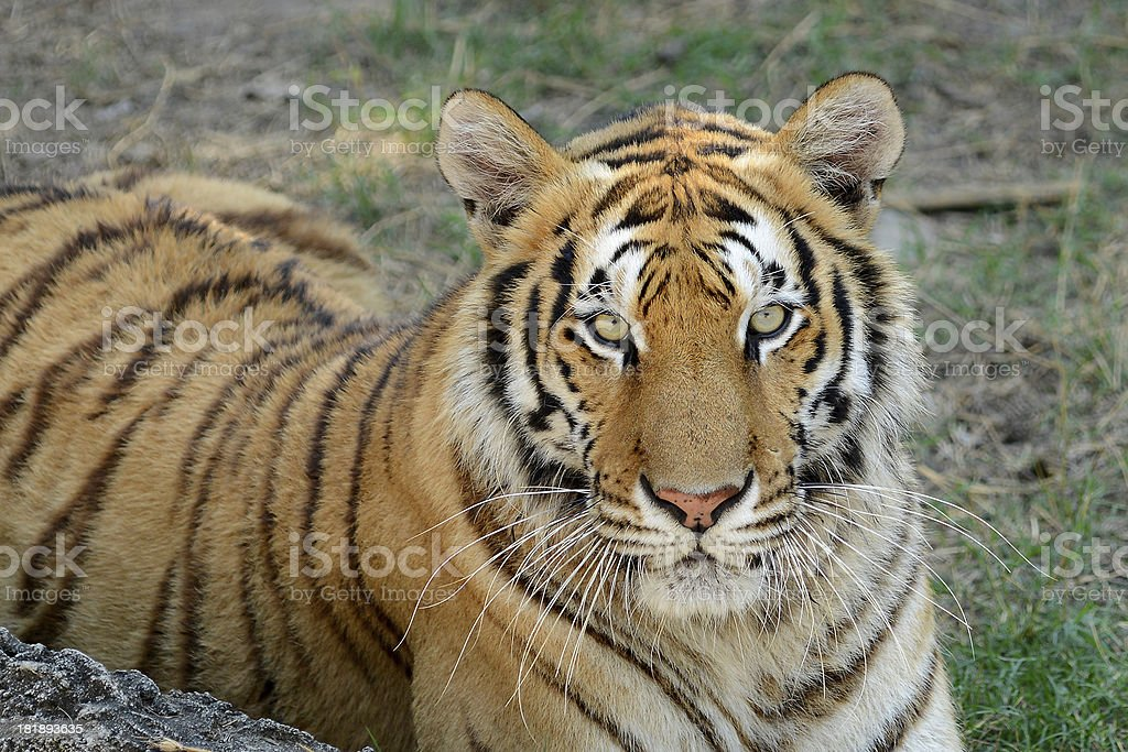 Bengal Tiger royalty-free stock photo