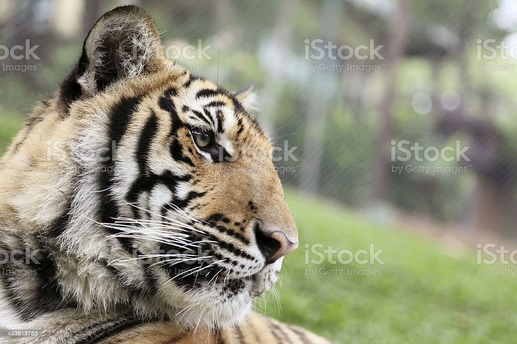 Bengal Tiger royalty-free stock photo
