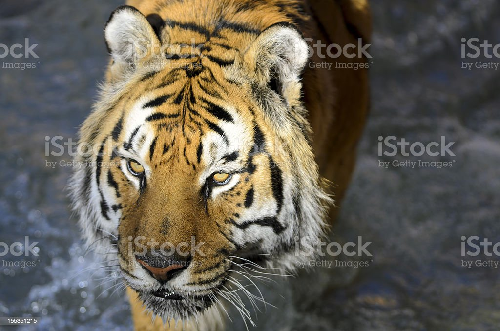 Bengal Tiger (Panthera tigris tigris) Portrait royalty-free stock photo
