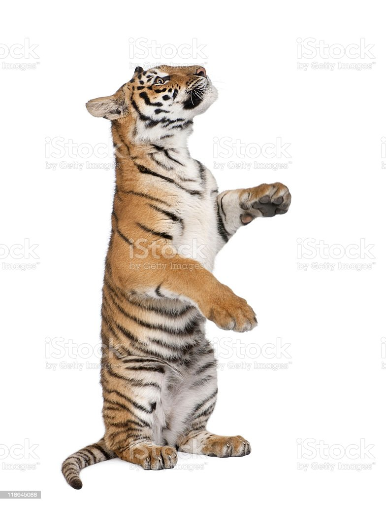 Bengal Tiger sitting in front of white background stock photo