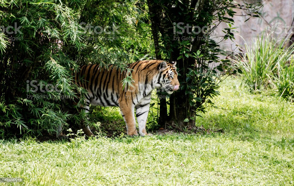 Bengal Tiger Walking From the Bush royalty-free stock photo