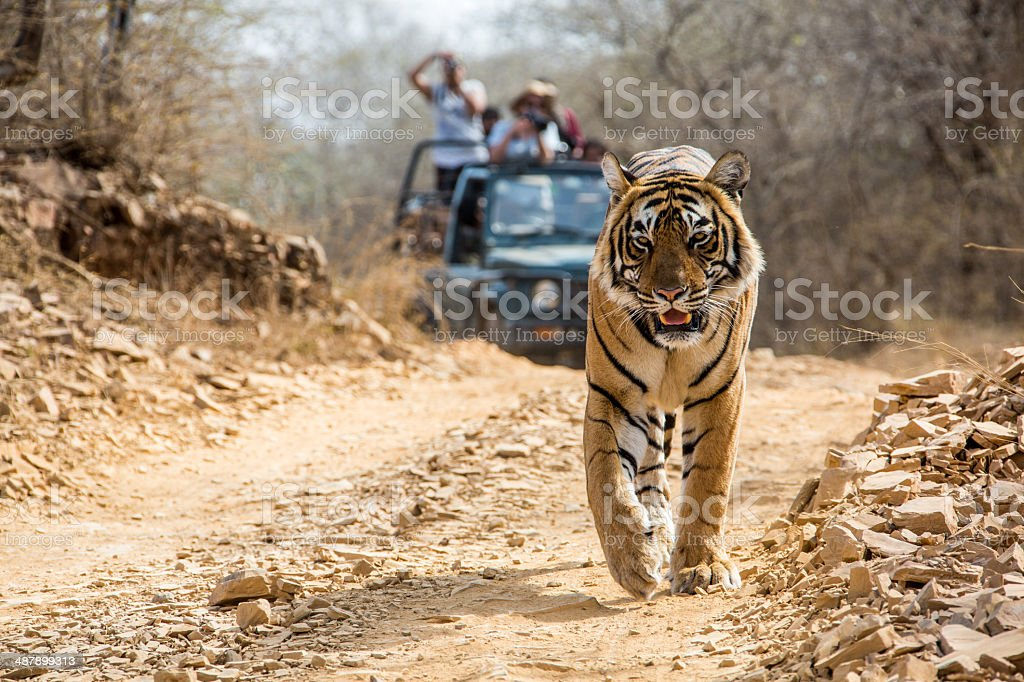 Bengal Tiger walking on the road, wildlife shot stock photo