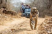 Bengal Tiger walking on the road, wildlife shot