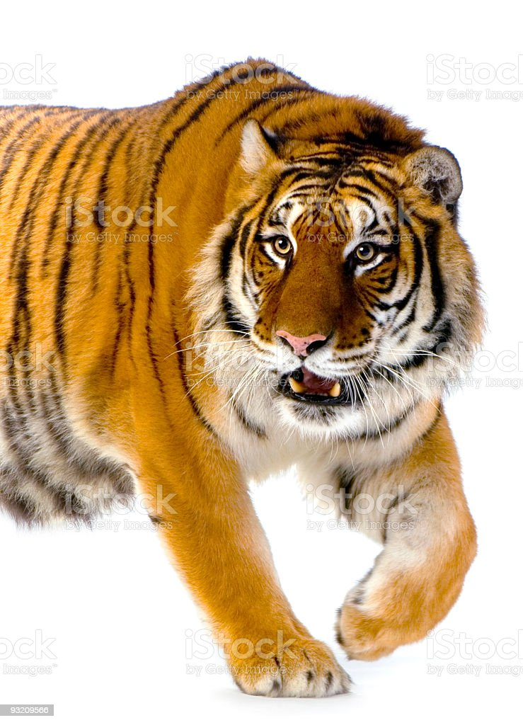 Bengal tiger walking over white background stock photo