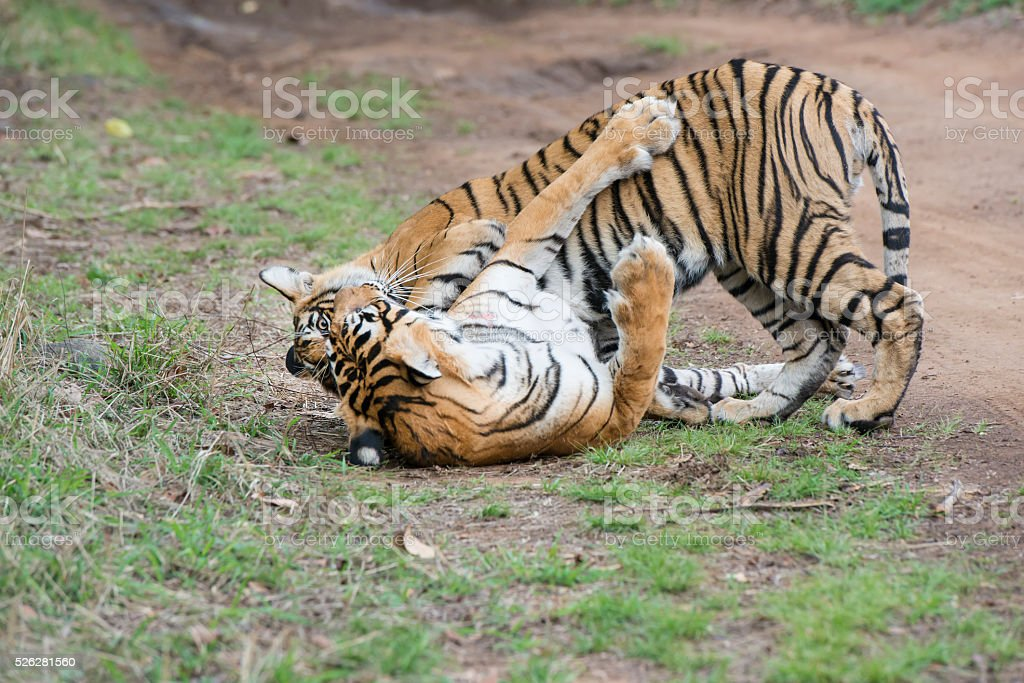 Bengal tigers (Panthera tigris tigris) are fighting, wildlife shot stock photo