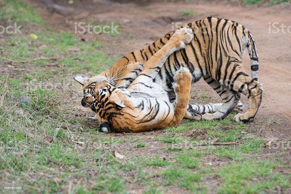 Bengal tigers (Panthera tigris tigris) are fighting, wildlife shot stock photo