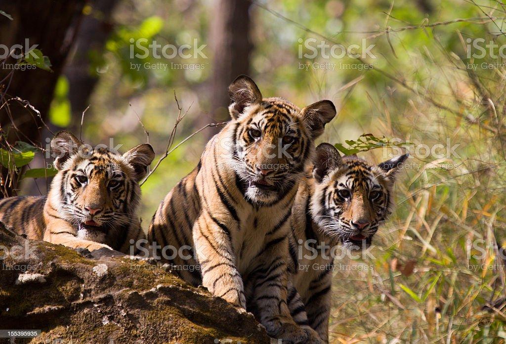 Bengal Tigers in Bandhavgarh NP, India stock photo