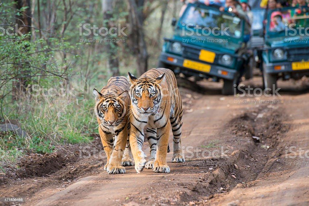 Bengal tigers (Panthera tigris tigris) in front of tourist car stock photo
