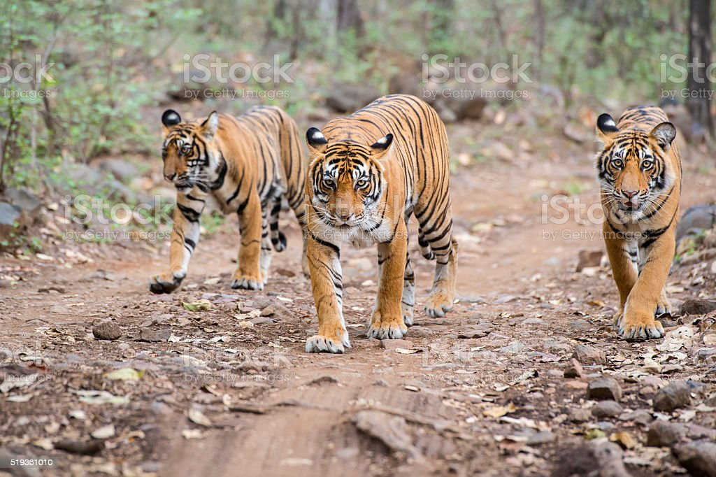 Bengal tigers (Panthera tigris tigris) in Ranthambhore National Park royalty-free stock photo