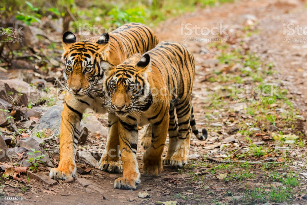 Bengal tigers (Panthera tigris tigris) in Ranthambhore National Park stock photo