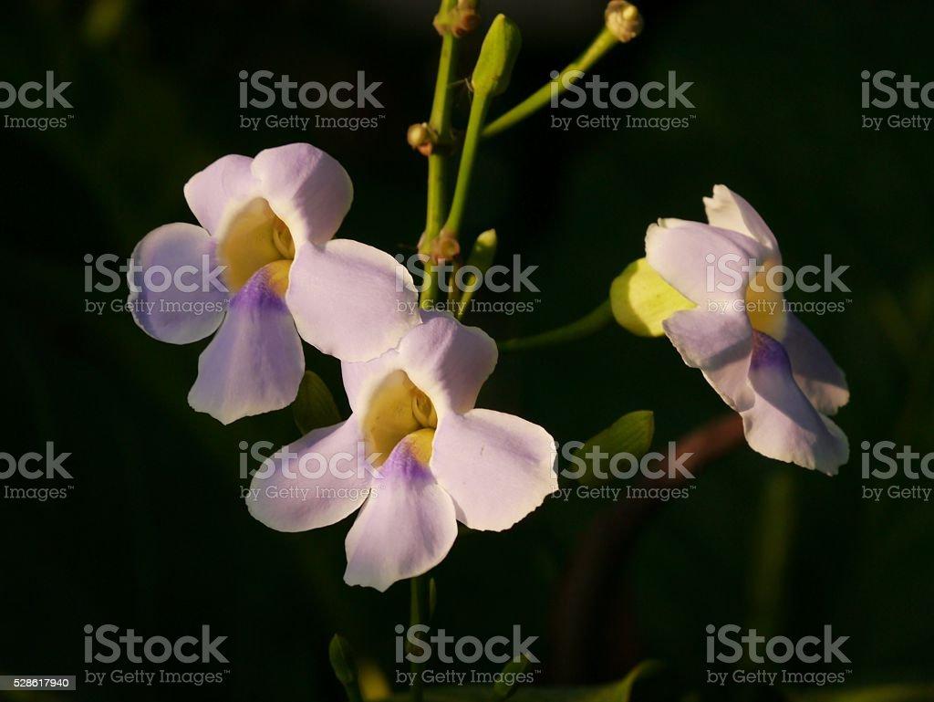 Bengal Trumpet (Thumbergia Grandifiora) stock photo