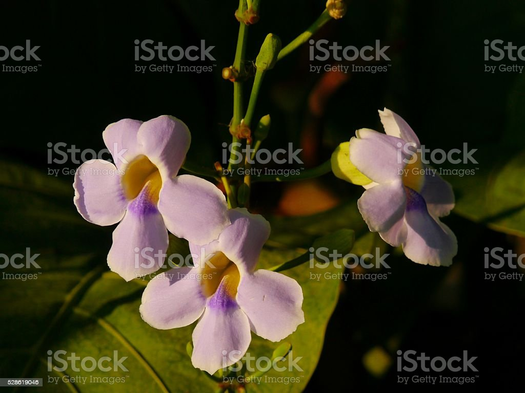 Bengal Trumpet (Thunbergia Grandiflora) stock photo
