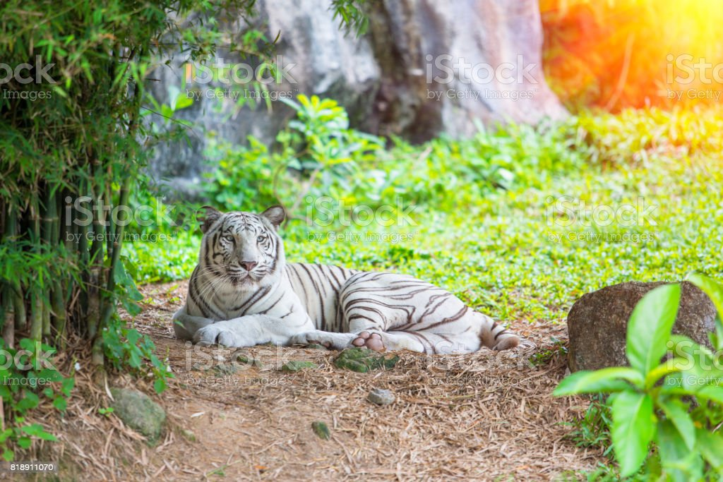 Bengal white tiger in forest stock photo