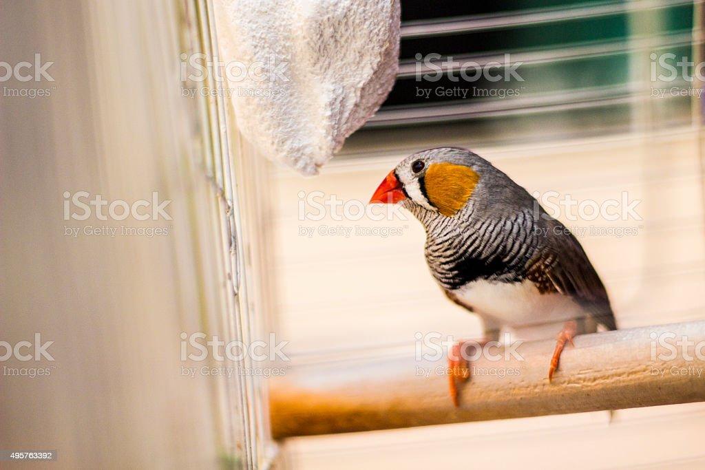 Bengali Bird stock photo
