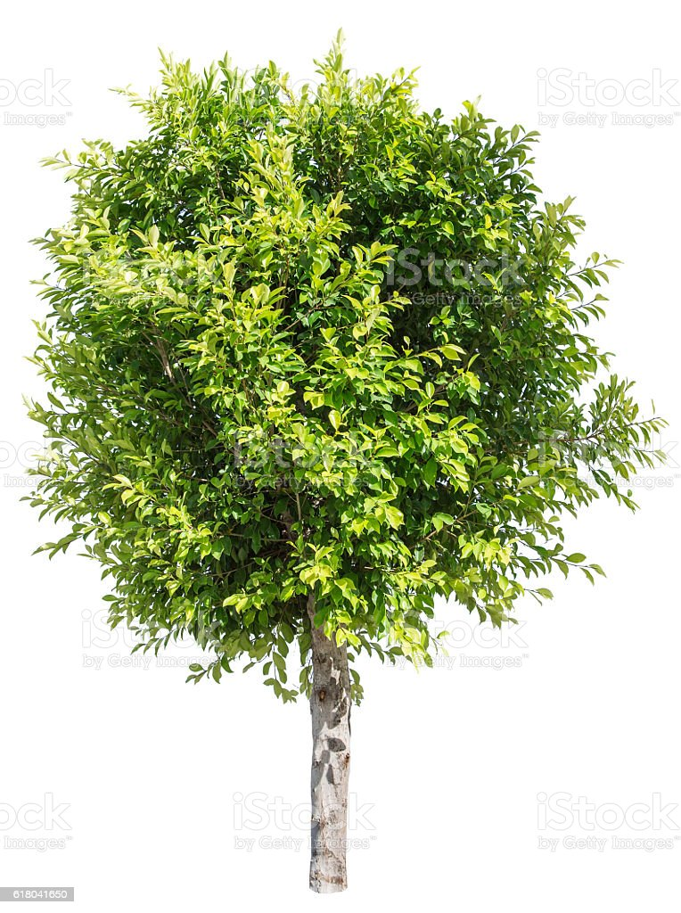 Benjamin's fig tree isolated on the white background. stock photo